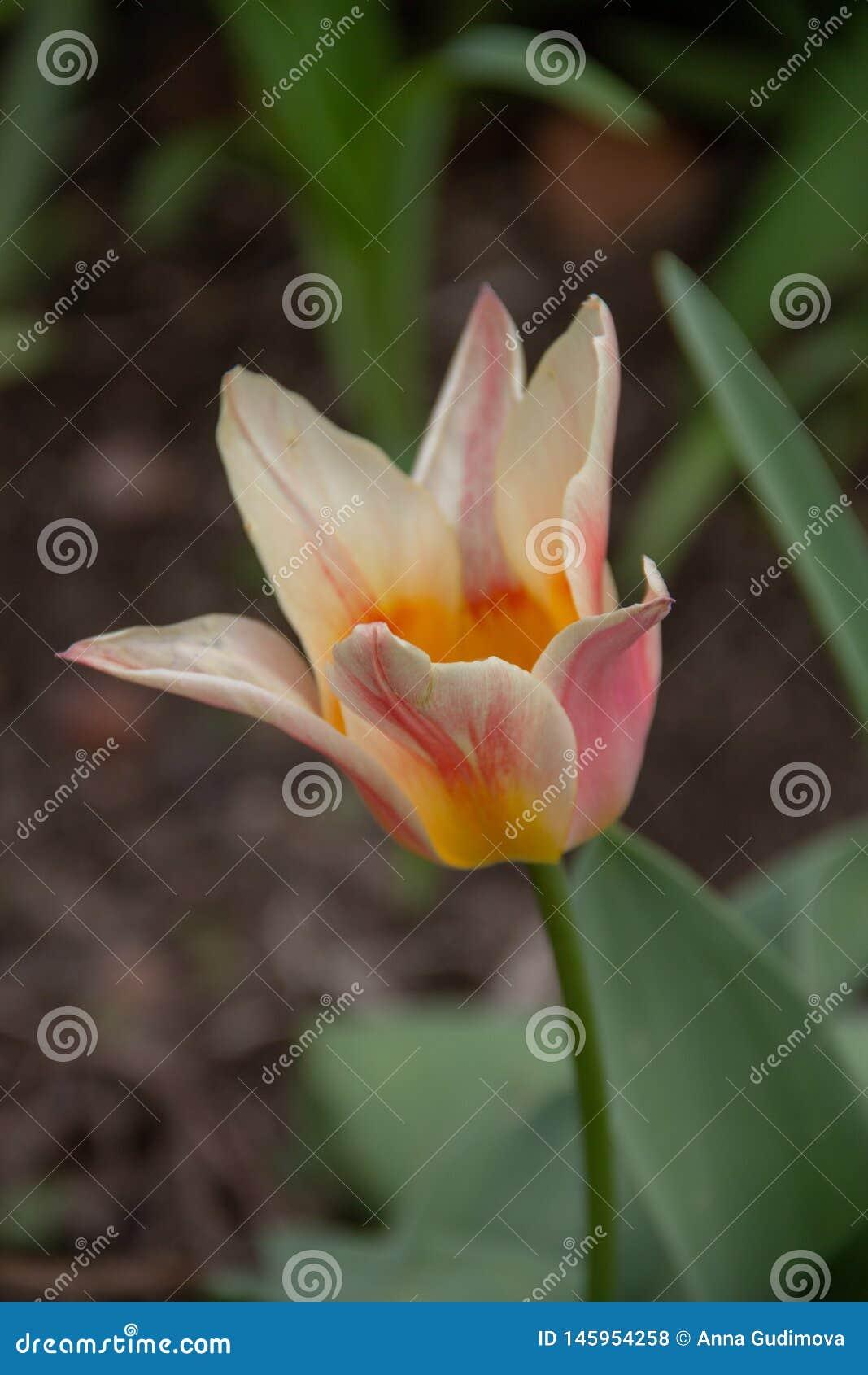 多色郁金香的宏观照片