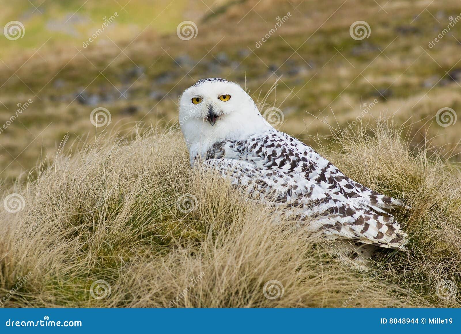 多雪横向的猫头鹰