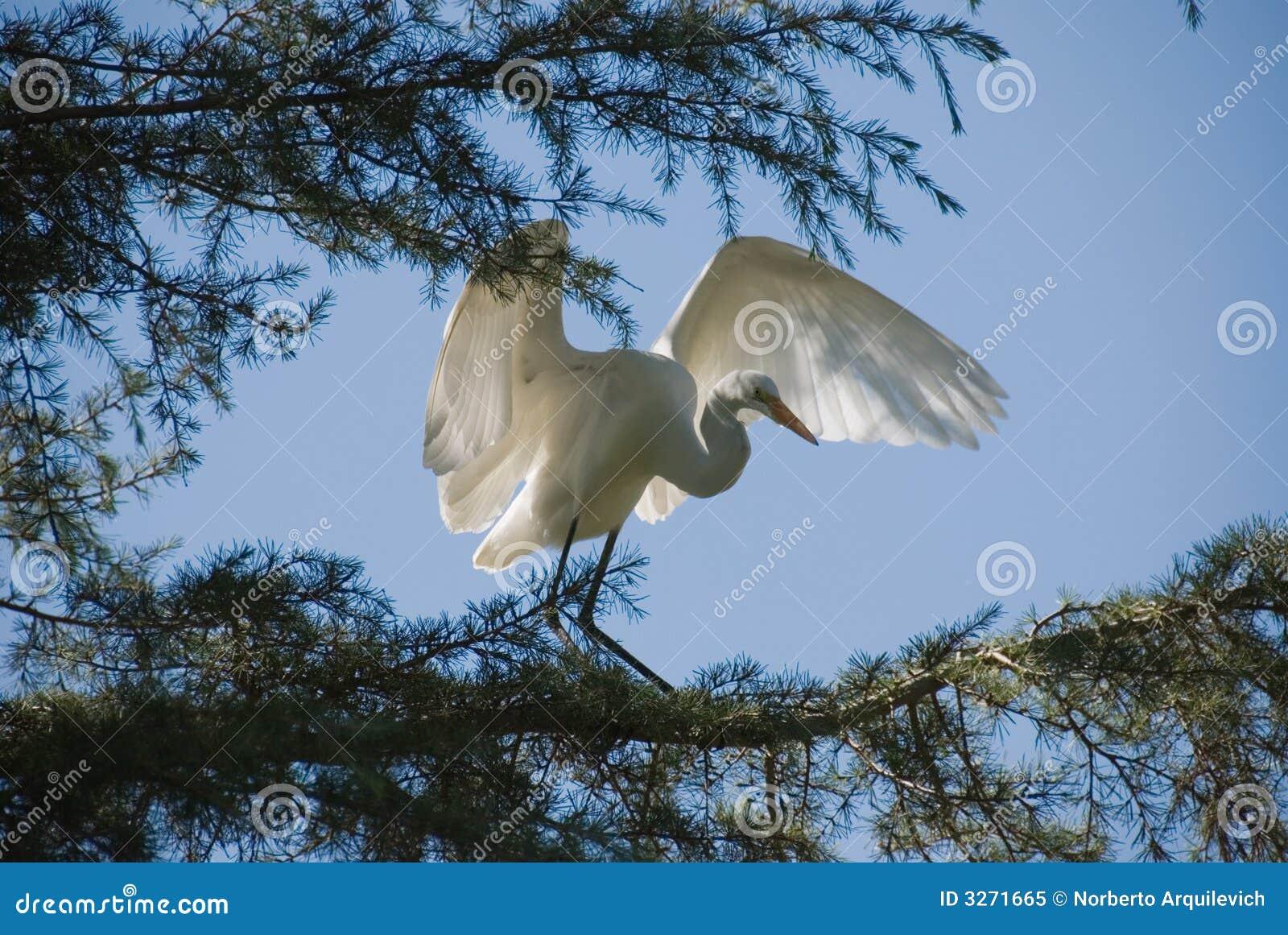 多雪的白鹭