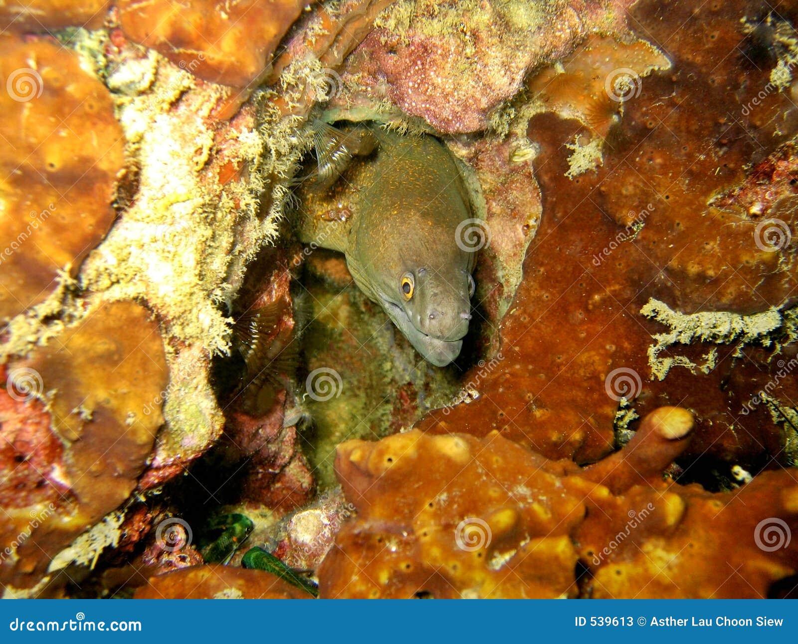 Download 夜的海鳗 库存图片. 图片 包括有 水生, 珊瑚, 水下, 橙色, 海洋, 鳗鱼, 海运, 题头, 礁石, 隐藏 - 539613