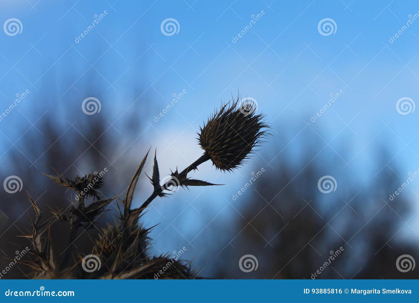 夜间山s日落ural冬天 植物在冬天凋枯 刺 宏观射击 自然 自然
