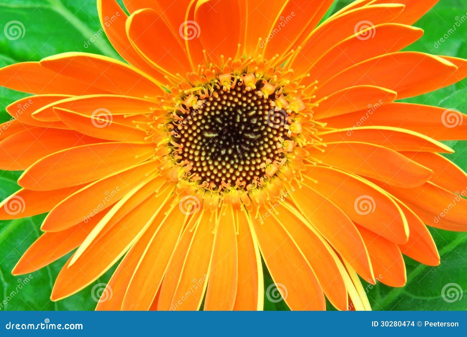 橙色大丁草
