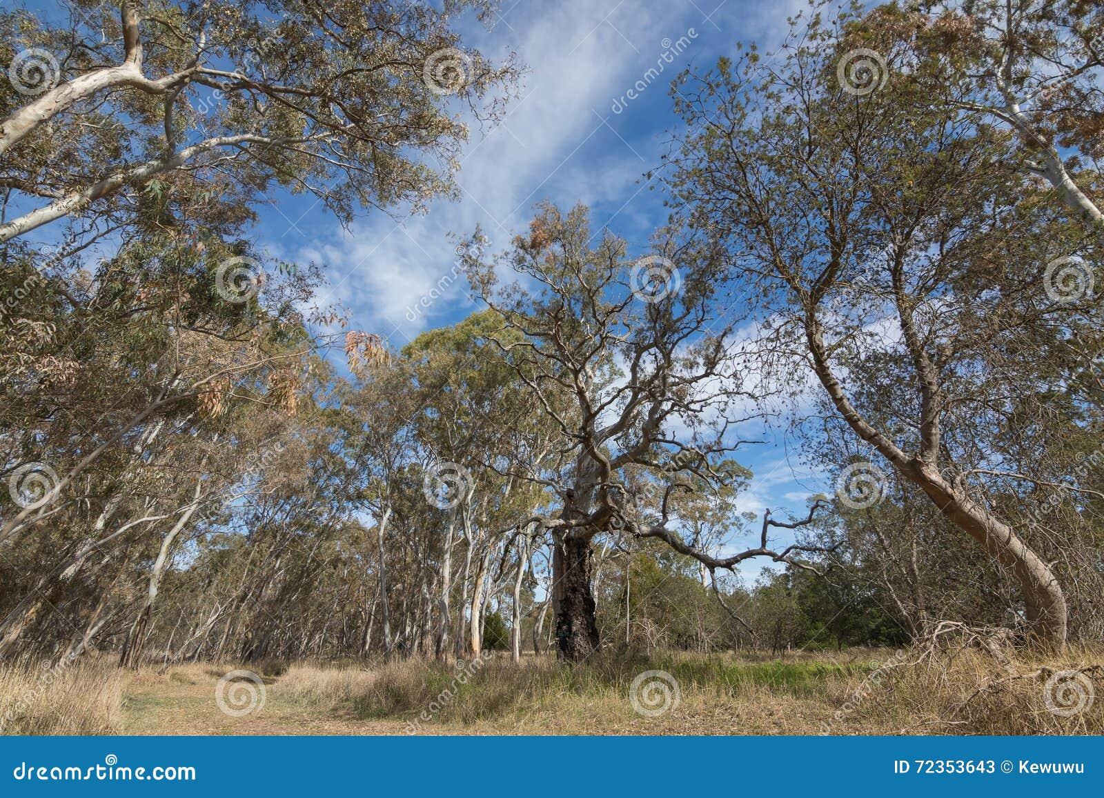 大产树胶之树,玉树,在秋天se期间的Naracoorte森林
