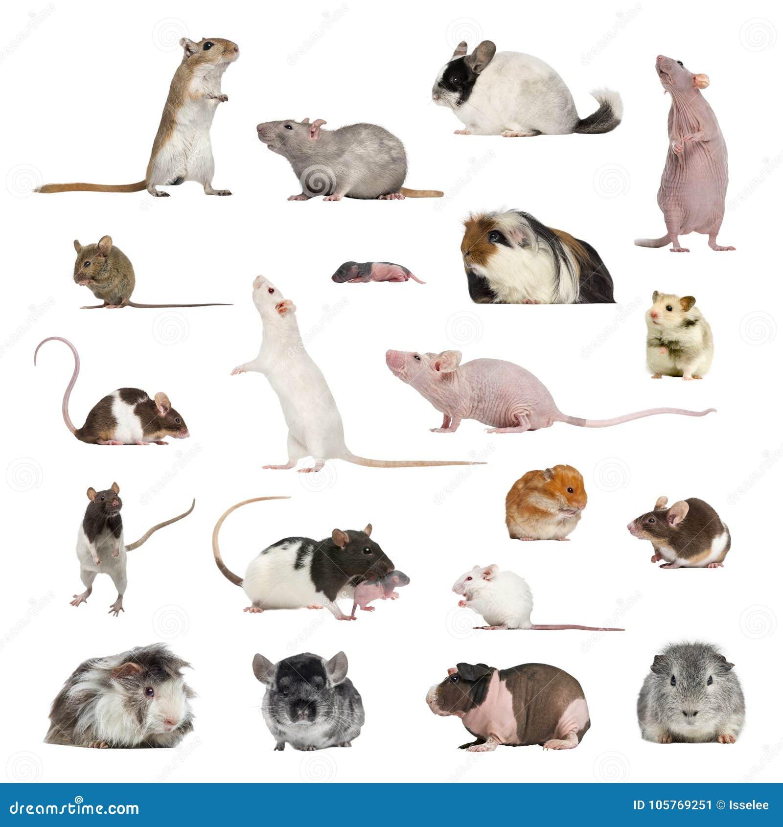 大收藏量的啮齿目动物,宠物和异乎寻常,在另外positio