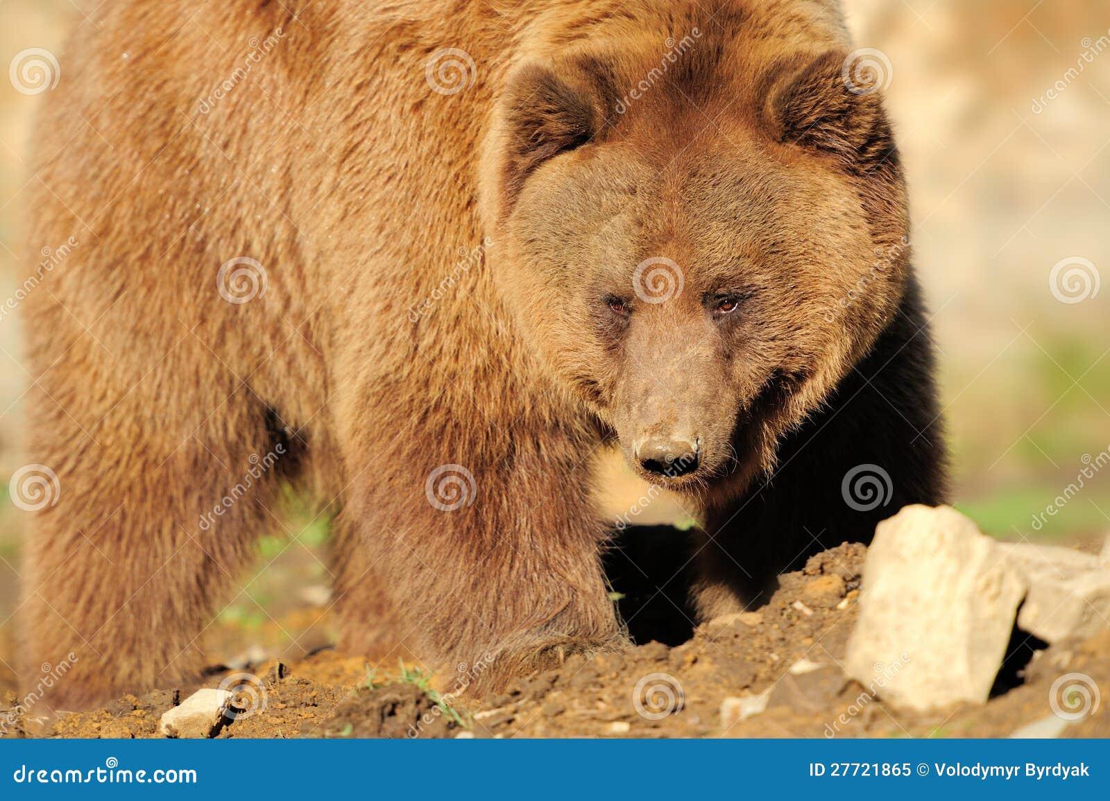 熊乃瑺yak9�+�,_no pr: no 0 477 0 大棕熊 id 27721865 © volodymyr byrdyak