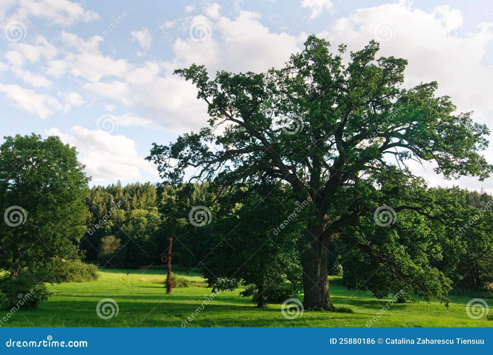 大橡木在公园