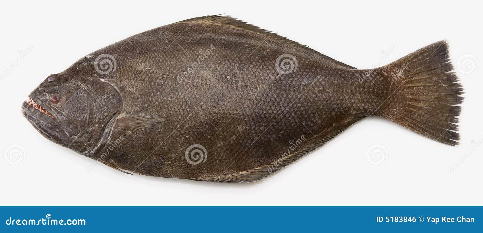 大比目鱼太平洋