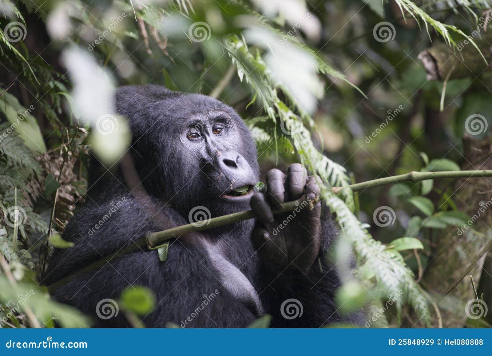 大猩猩在乌干达,非洲的rainf森林里