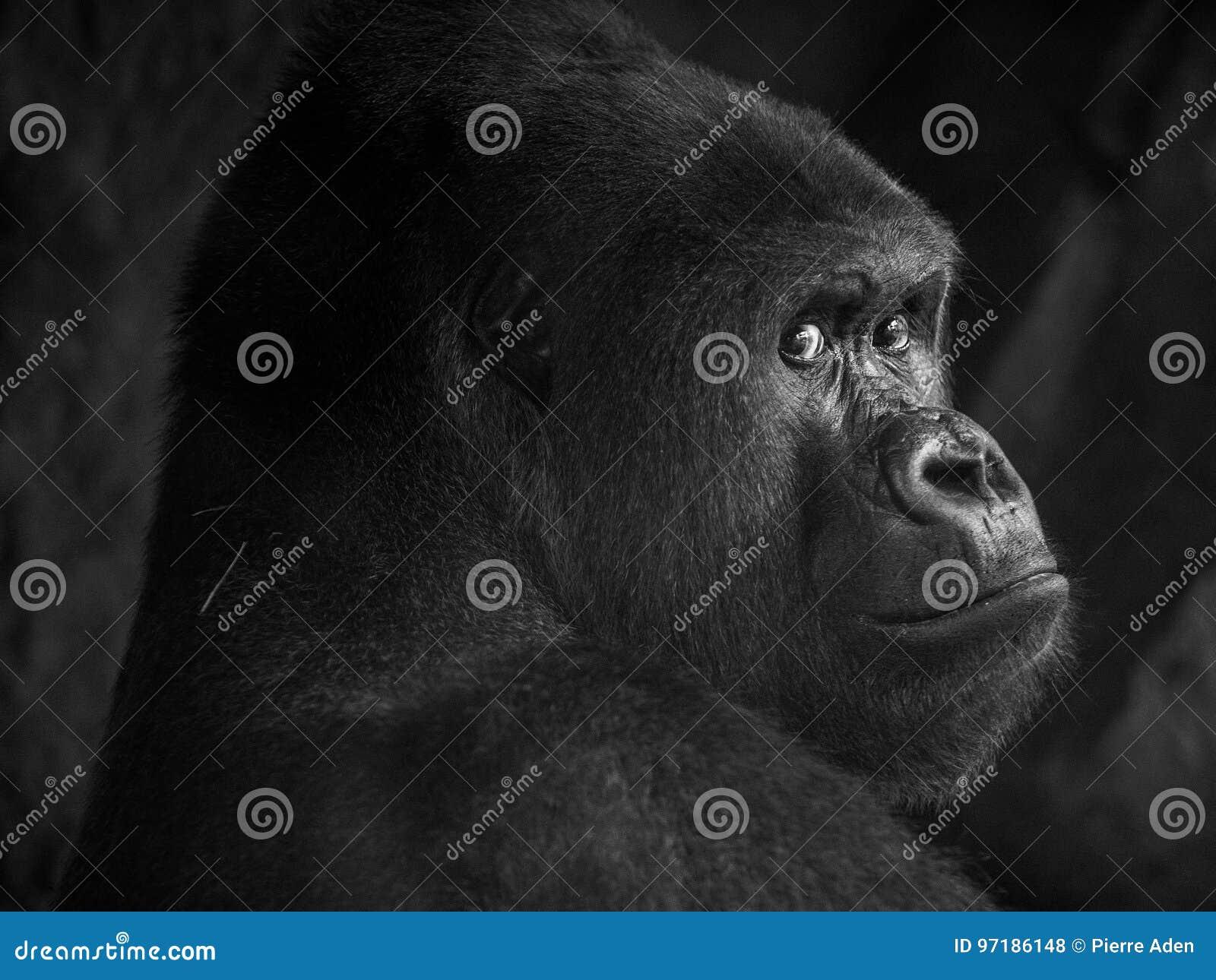 大猩猩在动物园里