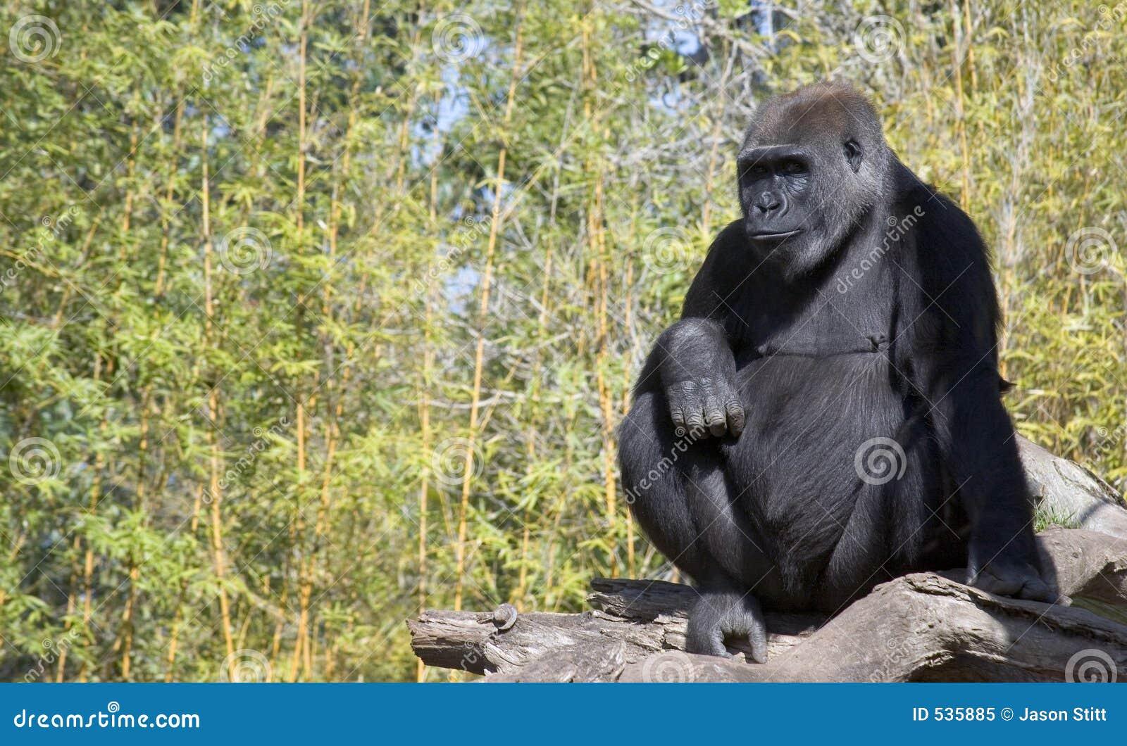 Download 大猩猩 库存图片. 图片 包括有 通配, 大猩猩, 哺乳动物, 猴子, 敌意, 茴香, 野生生物 - 535885