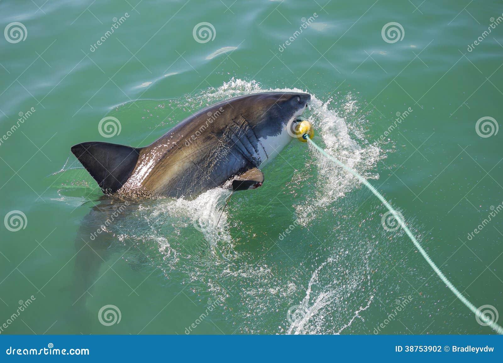 大白鲨鱼攻击的诱饵5