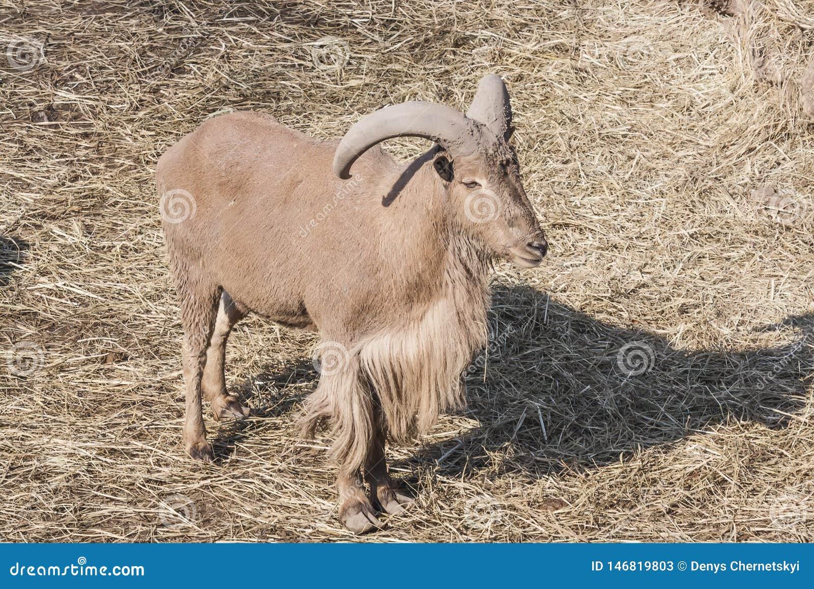 大石山羊在城市动物园里
