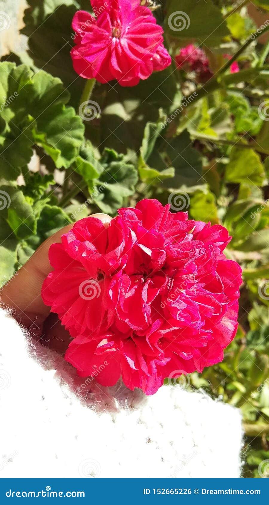 大竺葵桃红色花在庭院里有绿色背景