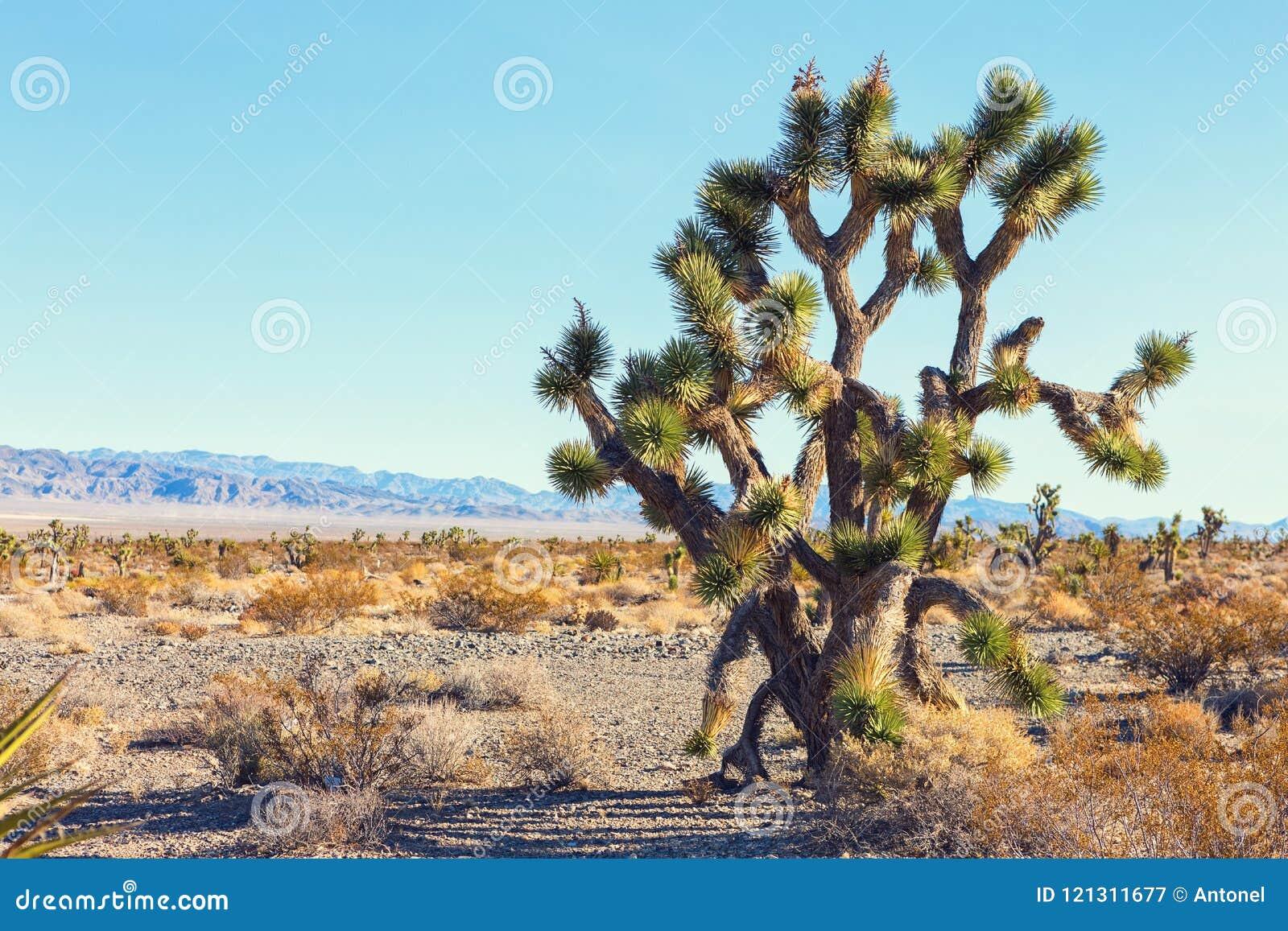 大约书亚树在莫哈韦沙漠Deserte,加利福尼亚,美国
