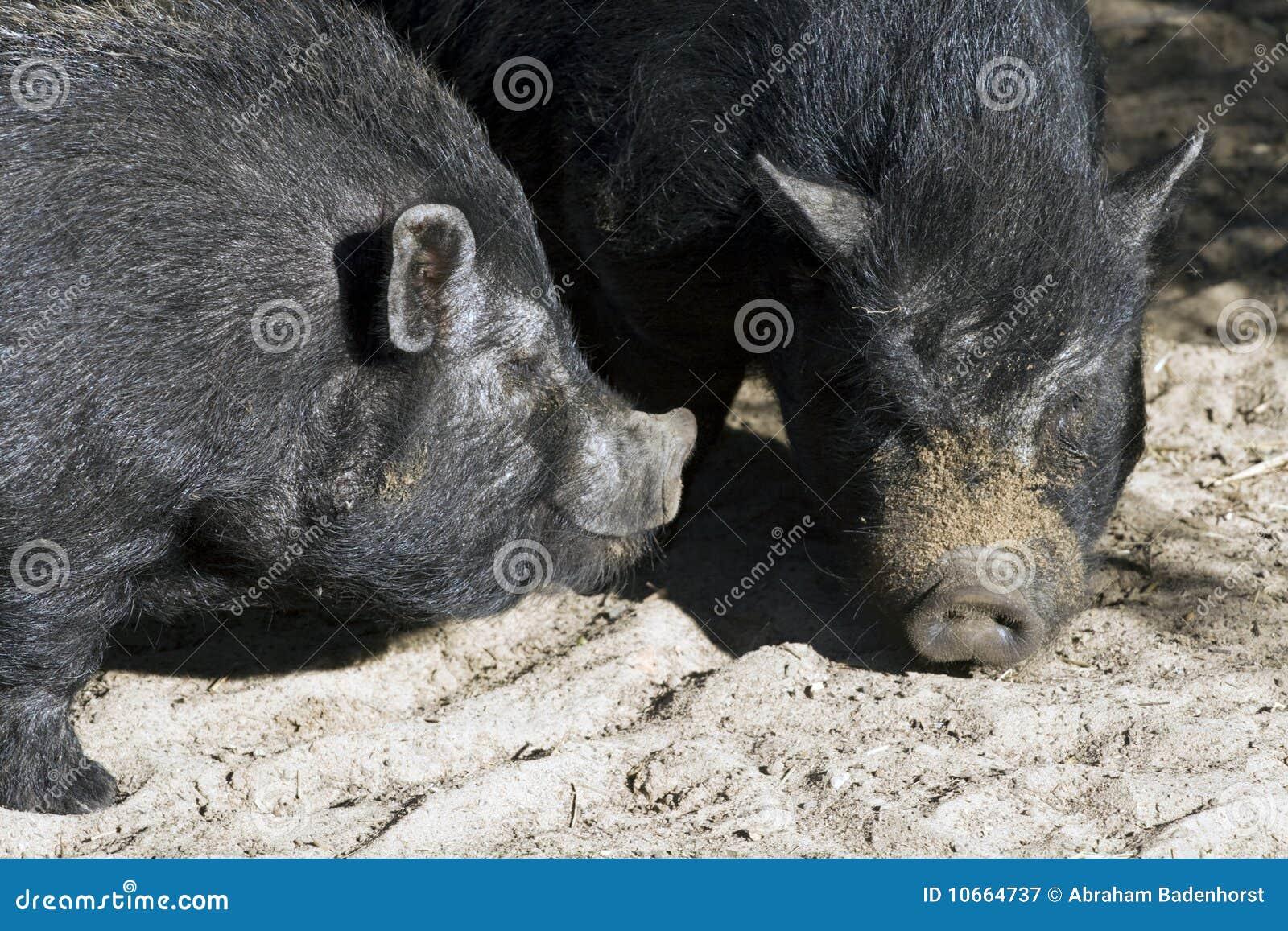大肚子的猪图片
