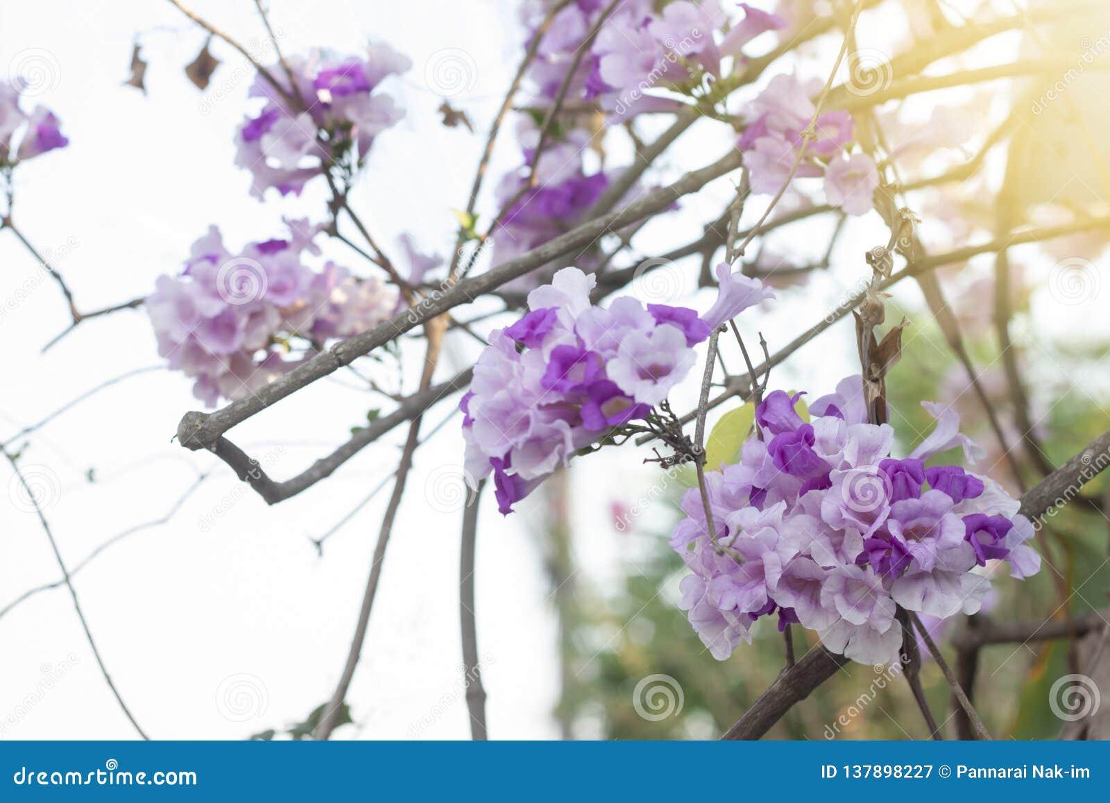 大蒜在树的藤或Mansoa alliacea花与阳光