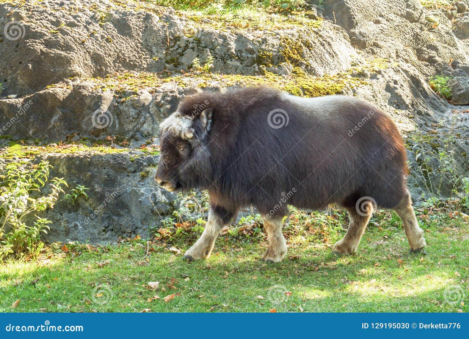 大蓬松北美野牛在秋天的莫斯科动物园里
