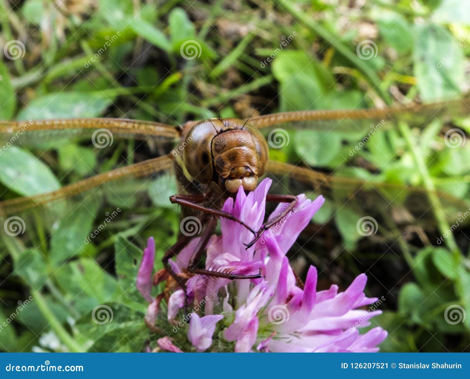 大蜻蜓坐三叶草花宏指令