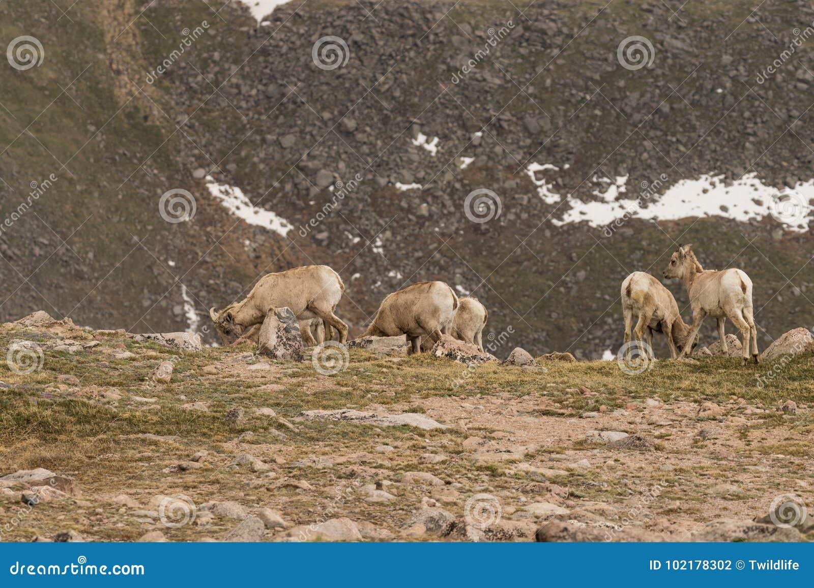大角野绵羊母羊