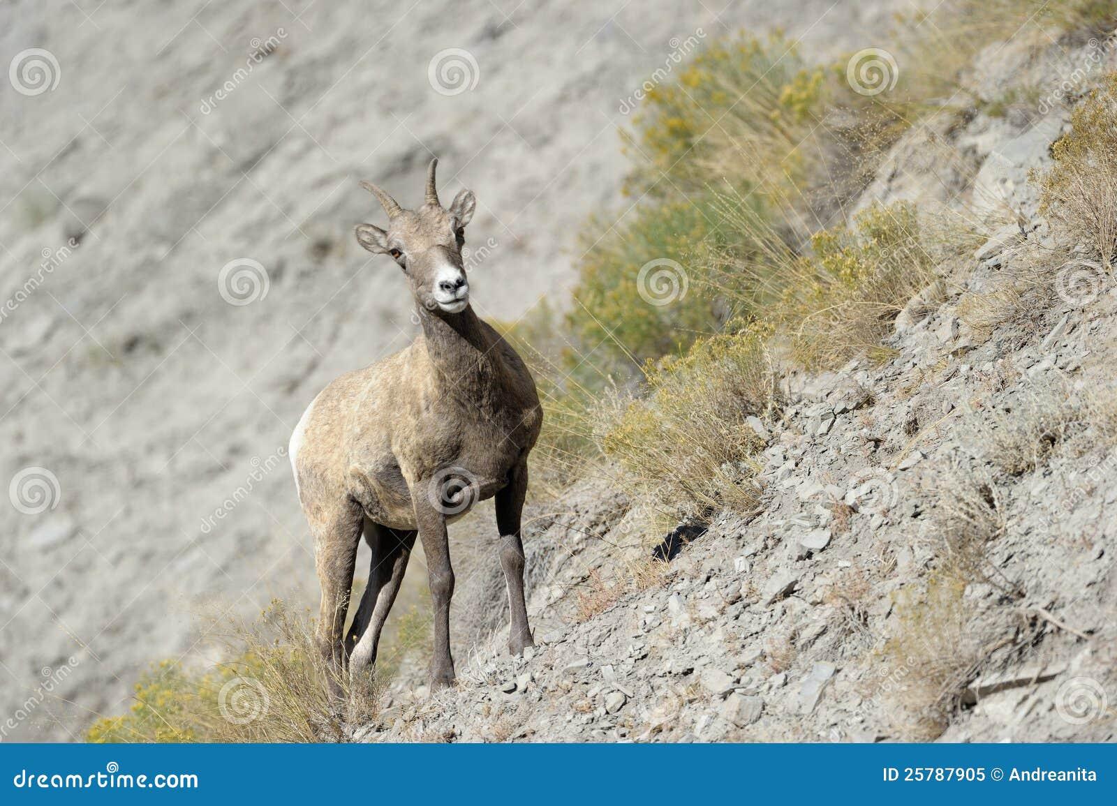 大角野绵羊