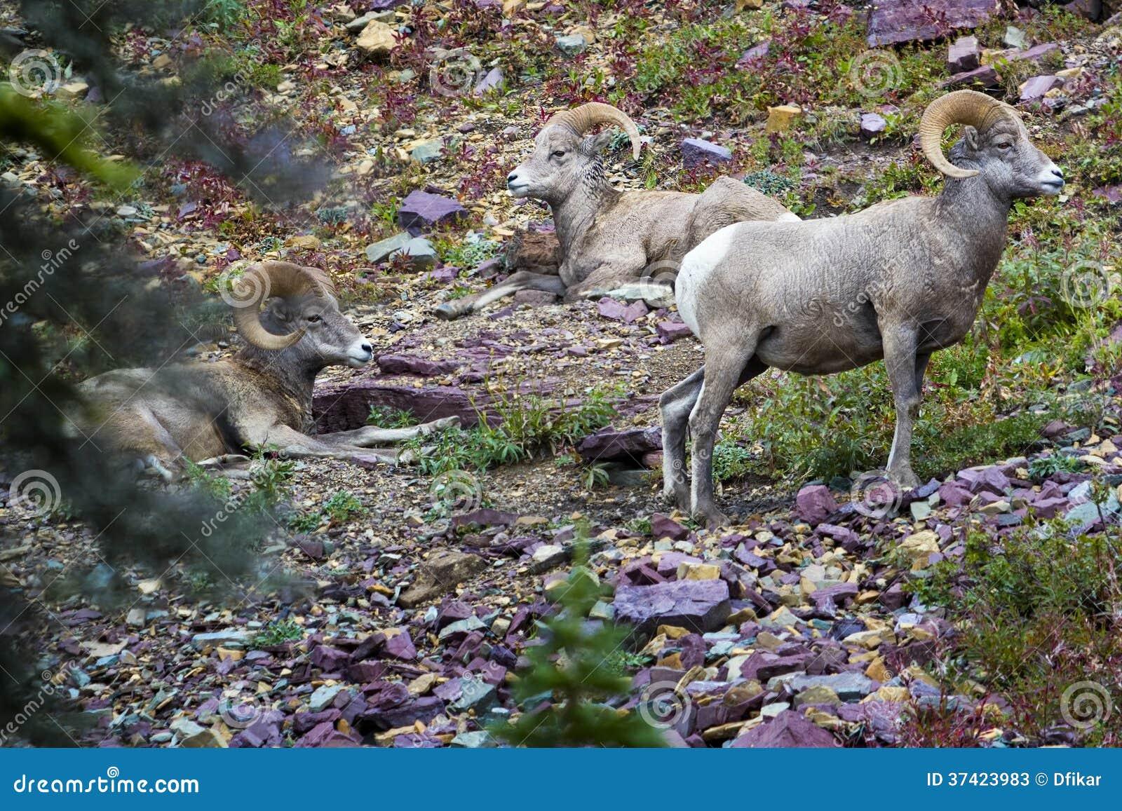 大角野绵羊在冰川国家公园
