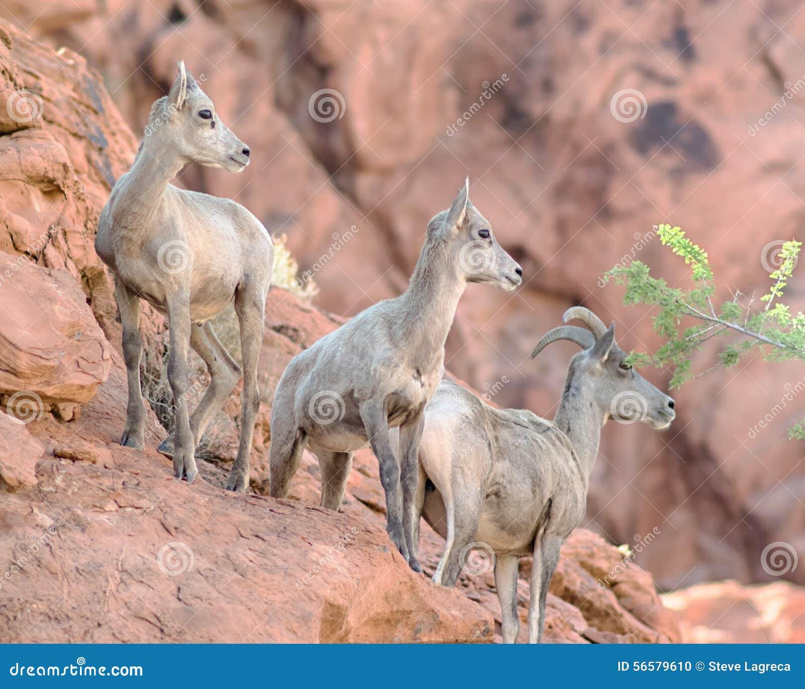 大角野绵羊,火国家公园, NV谷
