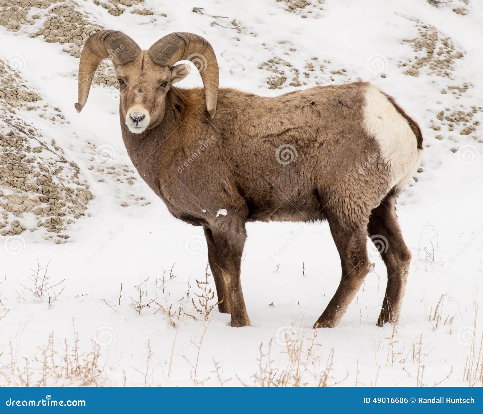 大角野绵羊Ram在冬天在恶地国家公园