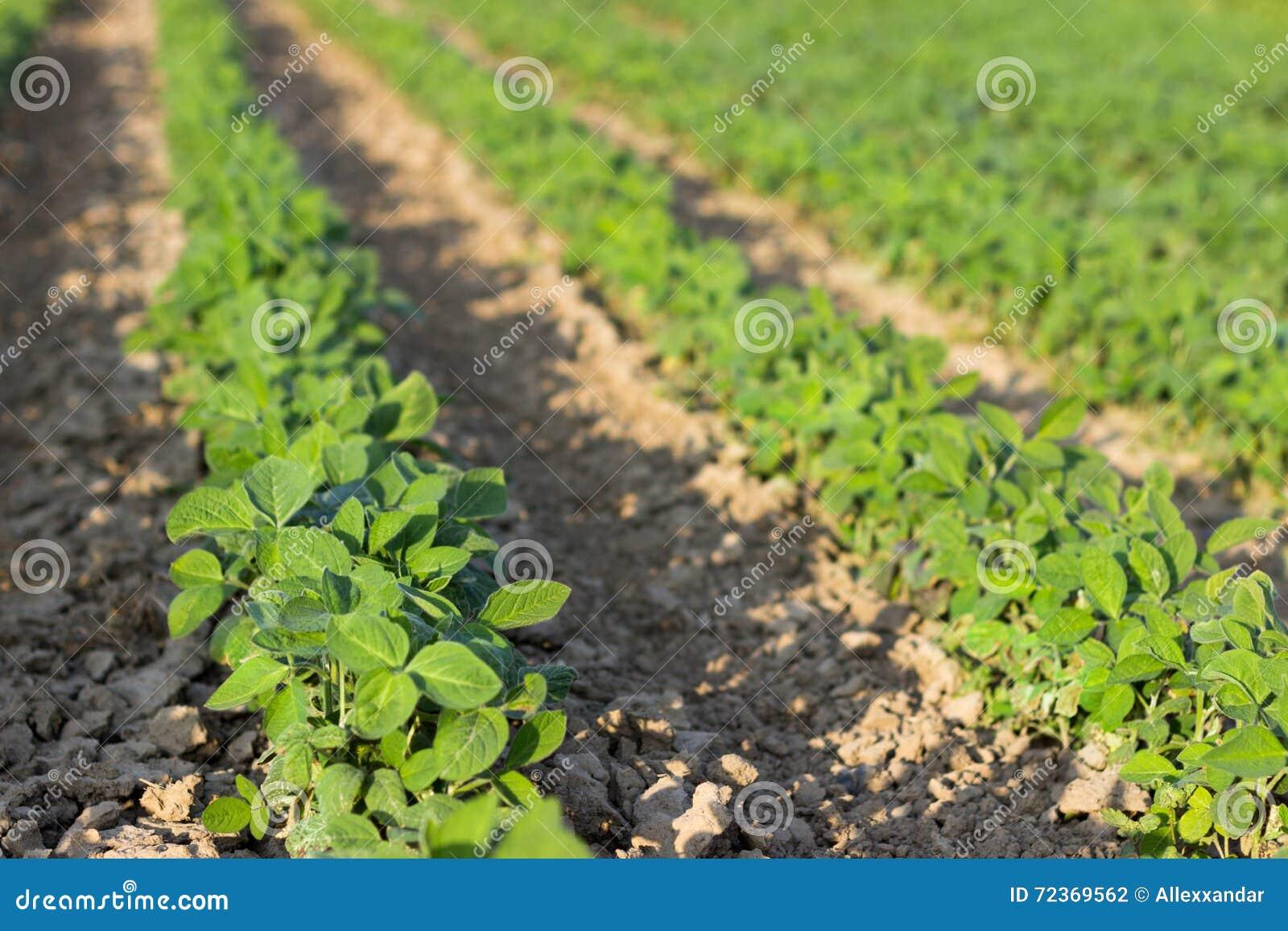 年轻大豆植物行领域大豆的在夏天调遣行