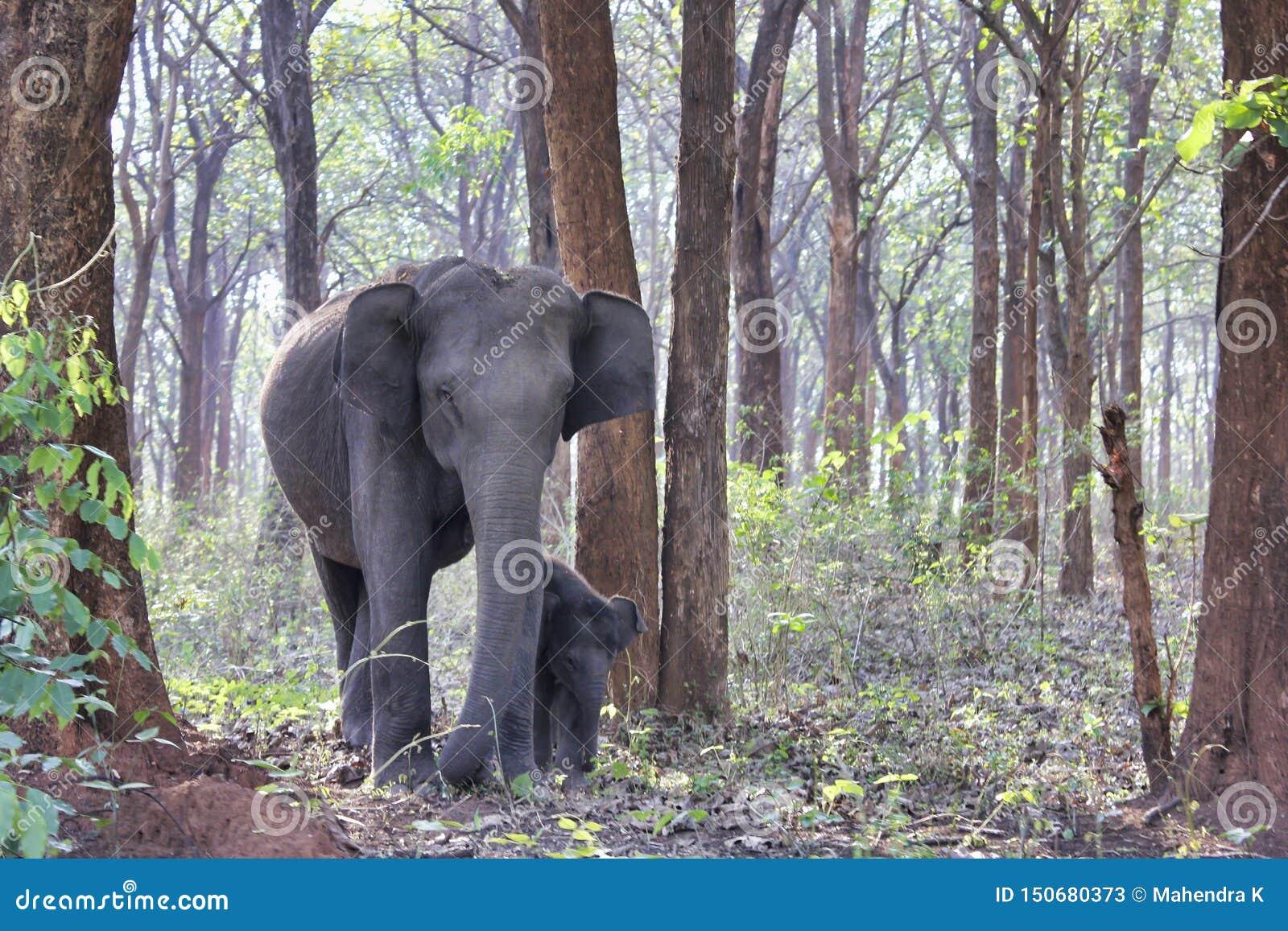 大象和小牛在森林里