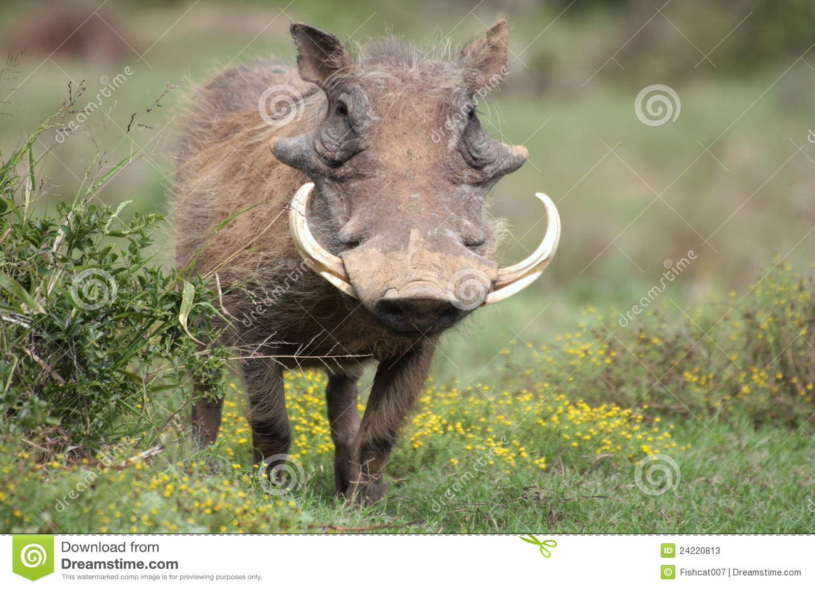 大象牙warthog