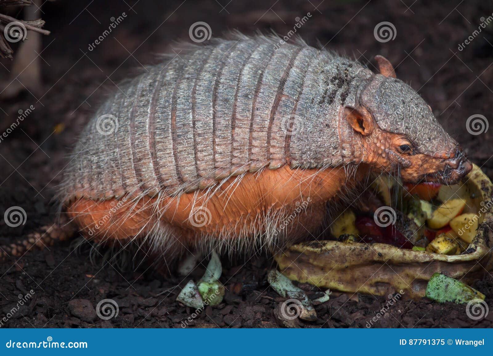 大长毛的犰狳Chaetophractus villosus