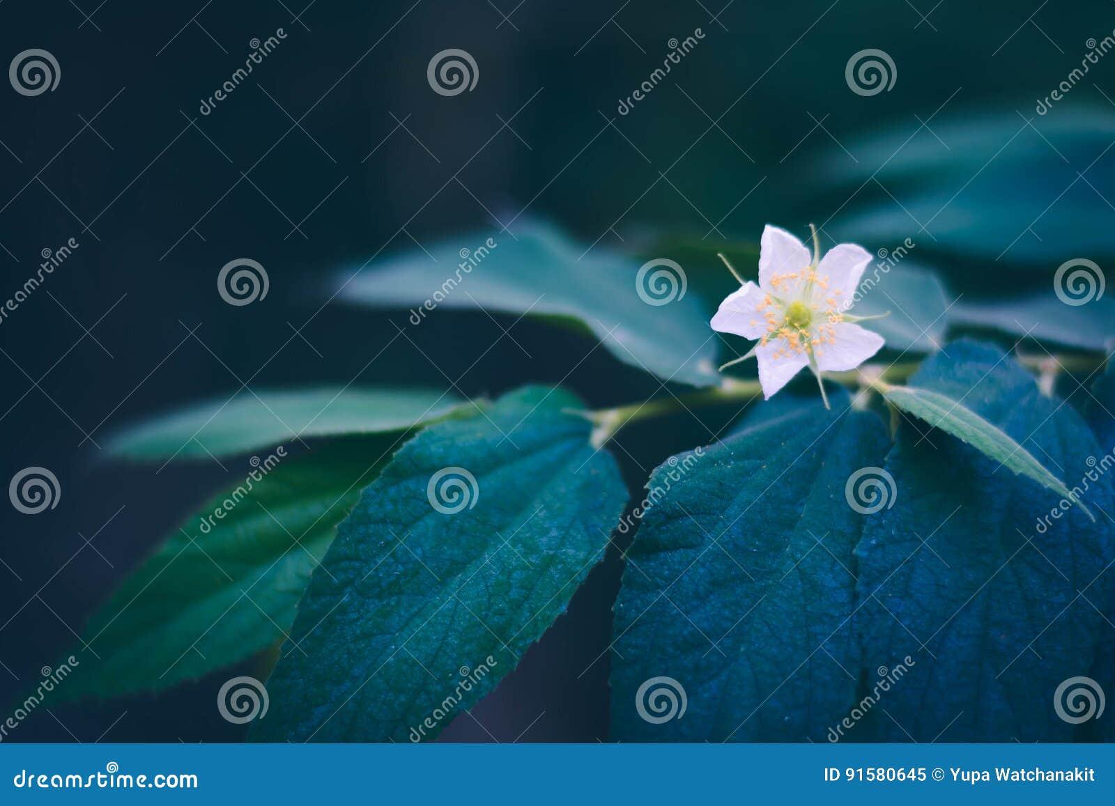 大风子科在分支,地方泰国果子的rukam树花