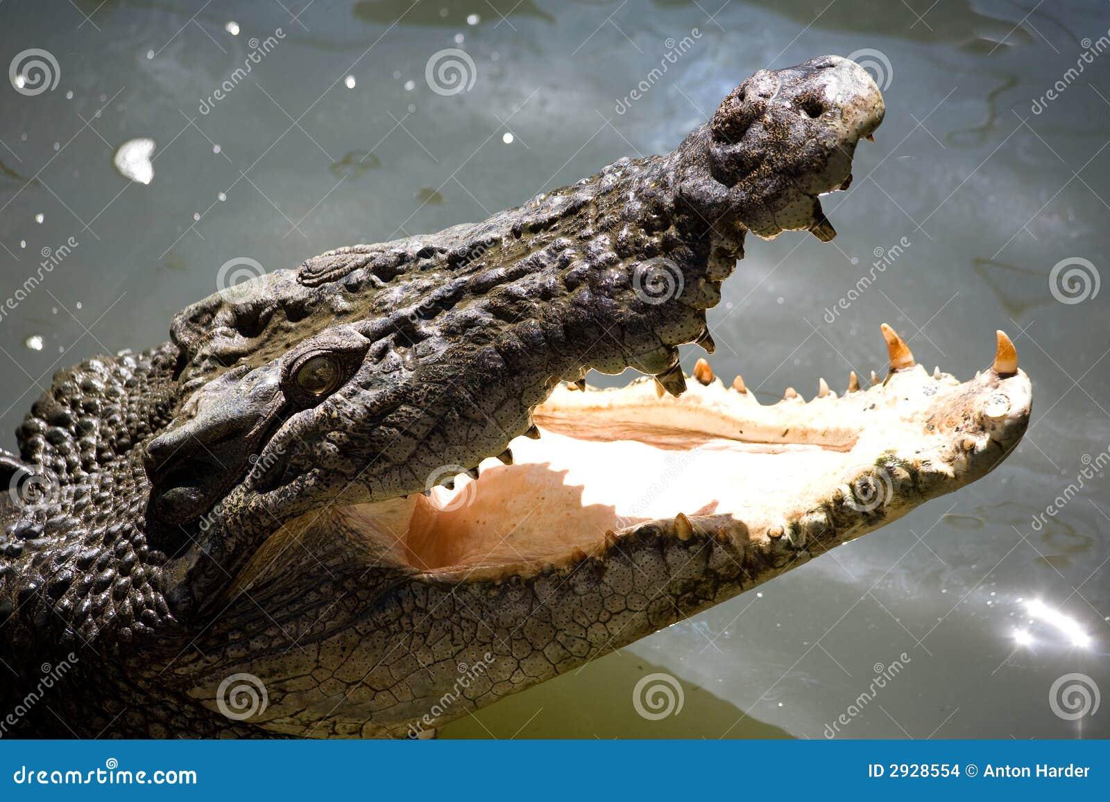 大鳄鱼嘴盐水