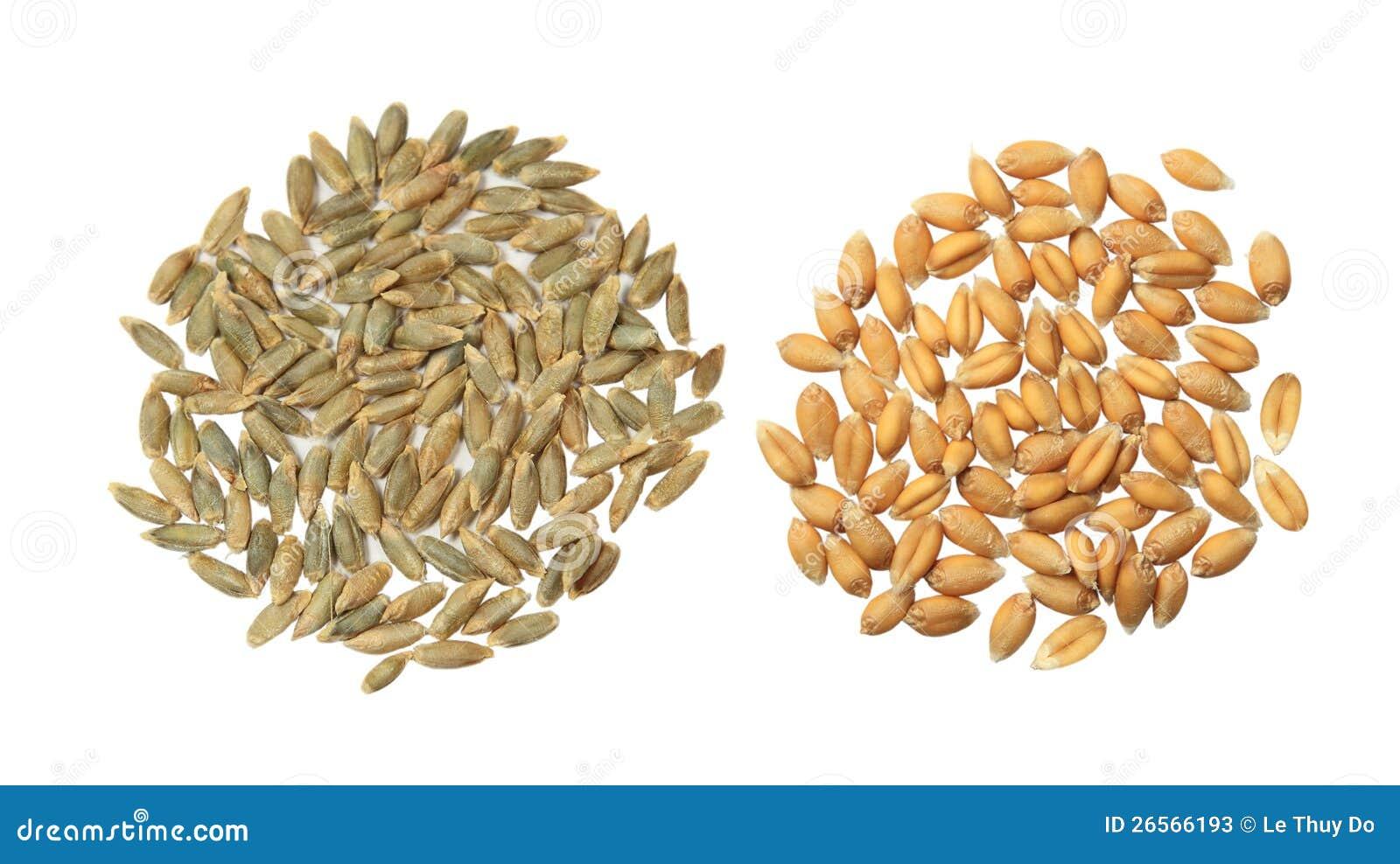 大麦和麦子