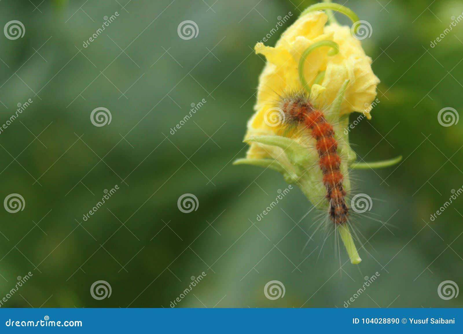 大黄色花和毛虫