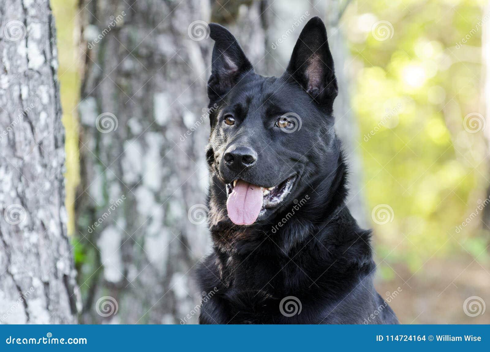 大黑德国牧羊犬混合品种狗,宠物抢救