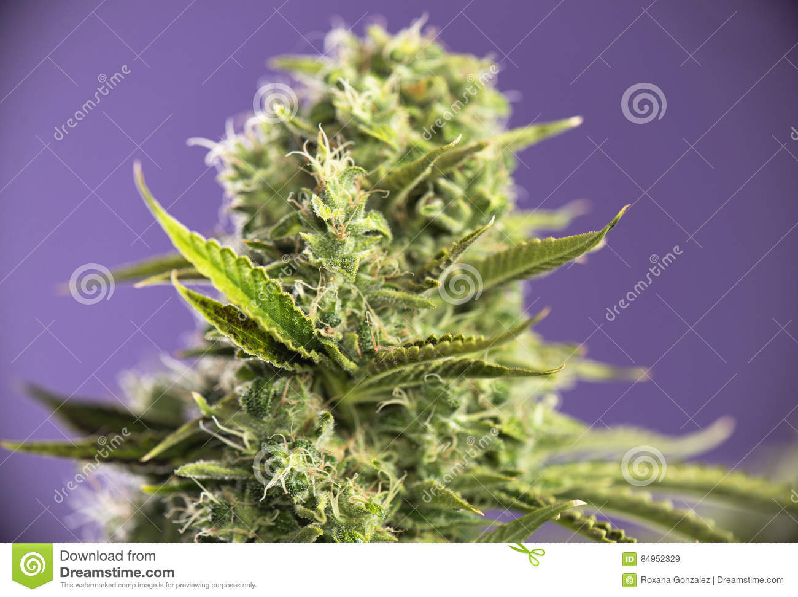 大麻可乐冠royale与可看见的头发的大麻张力