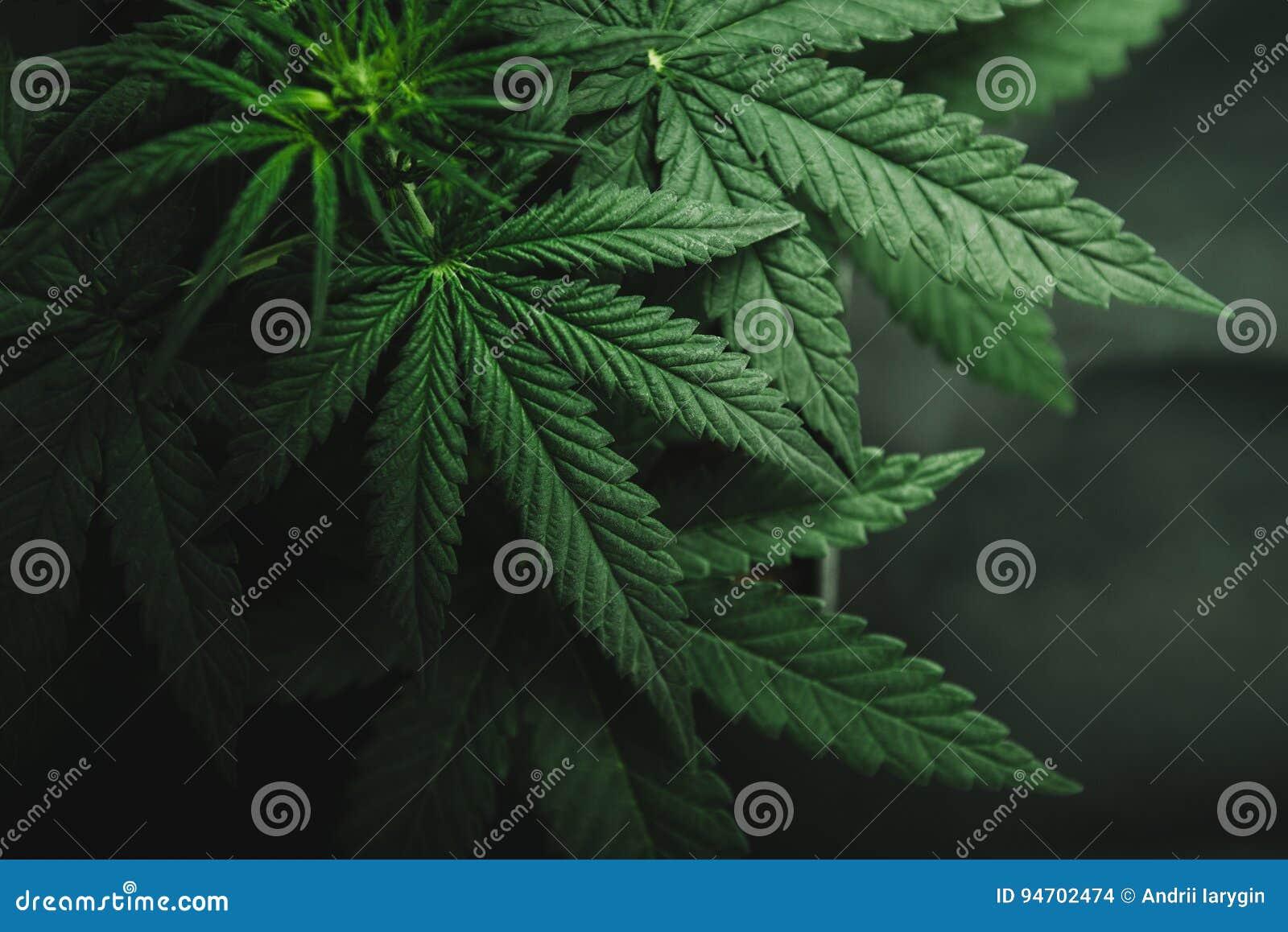 大麻在黑暗的背景离开,大麻