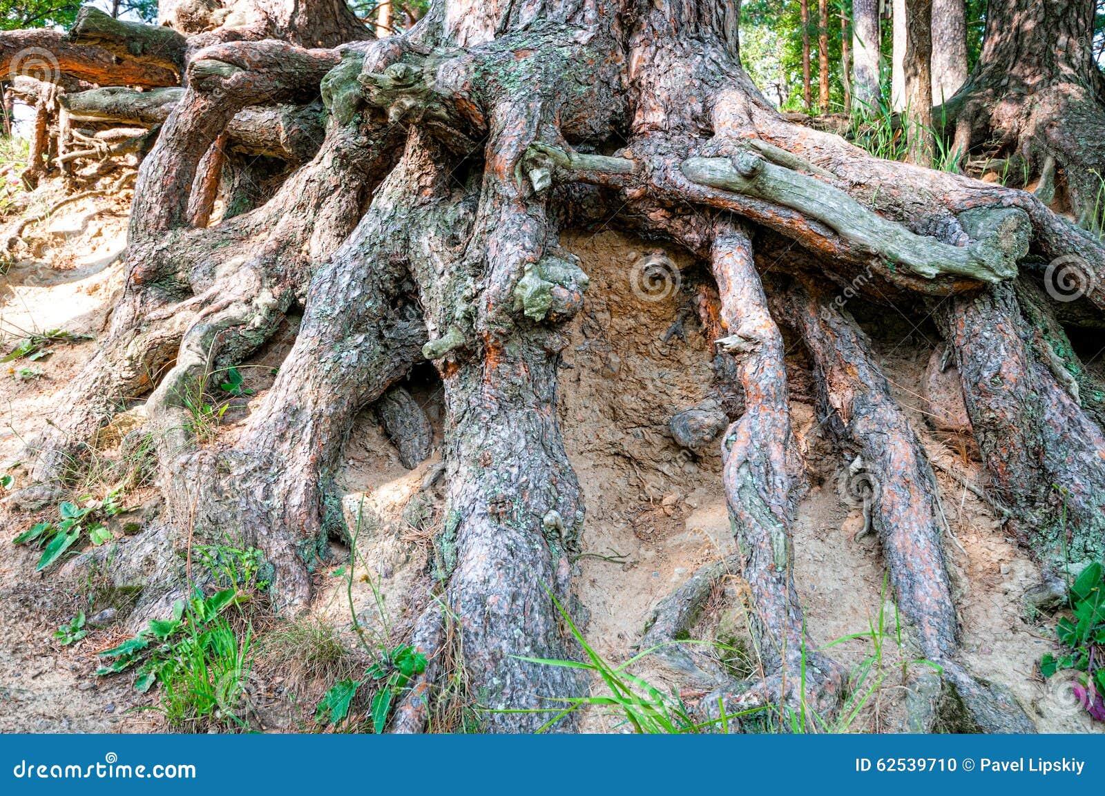 大结构树根