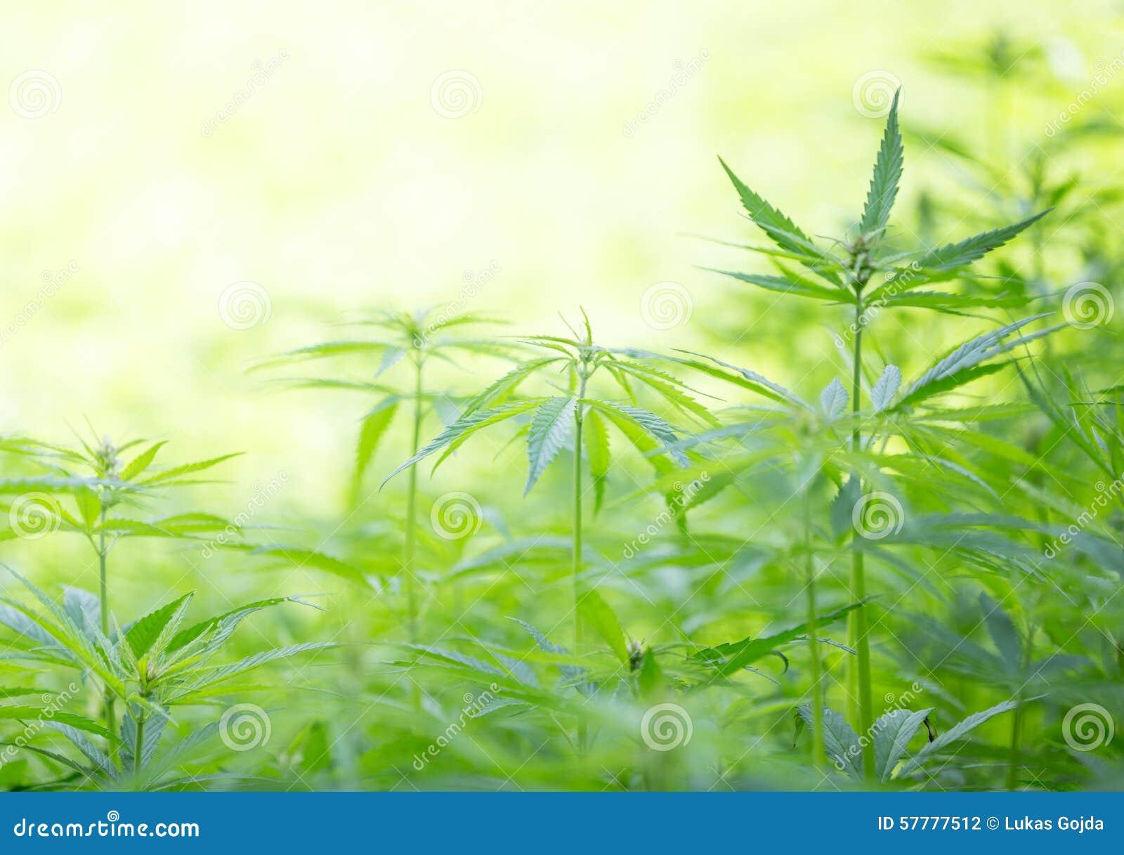 大麻种植年轻人