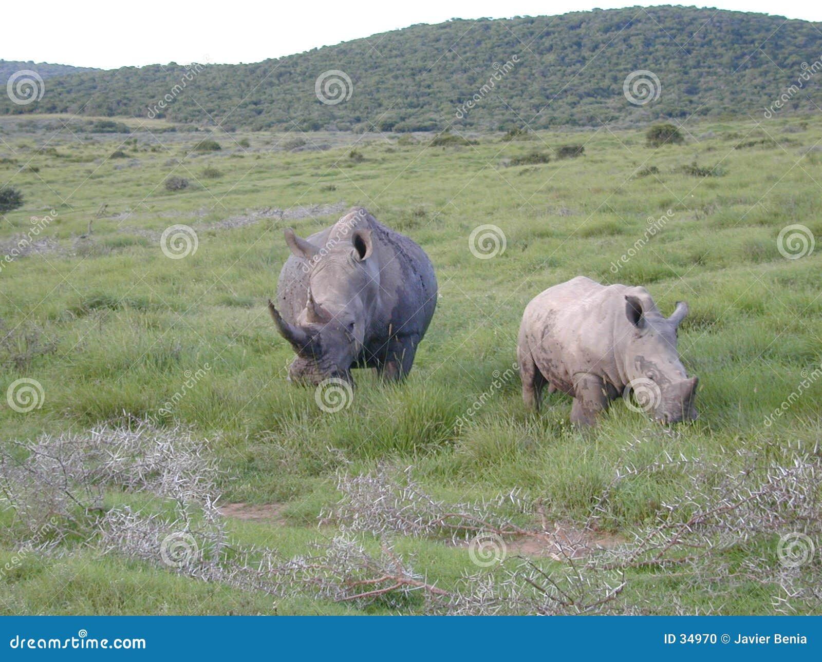 大rhinoceraus