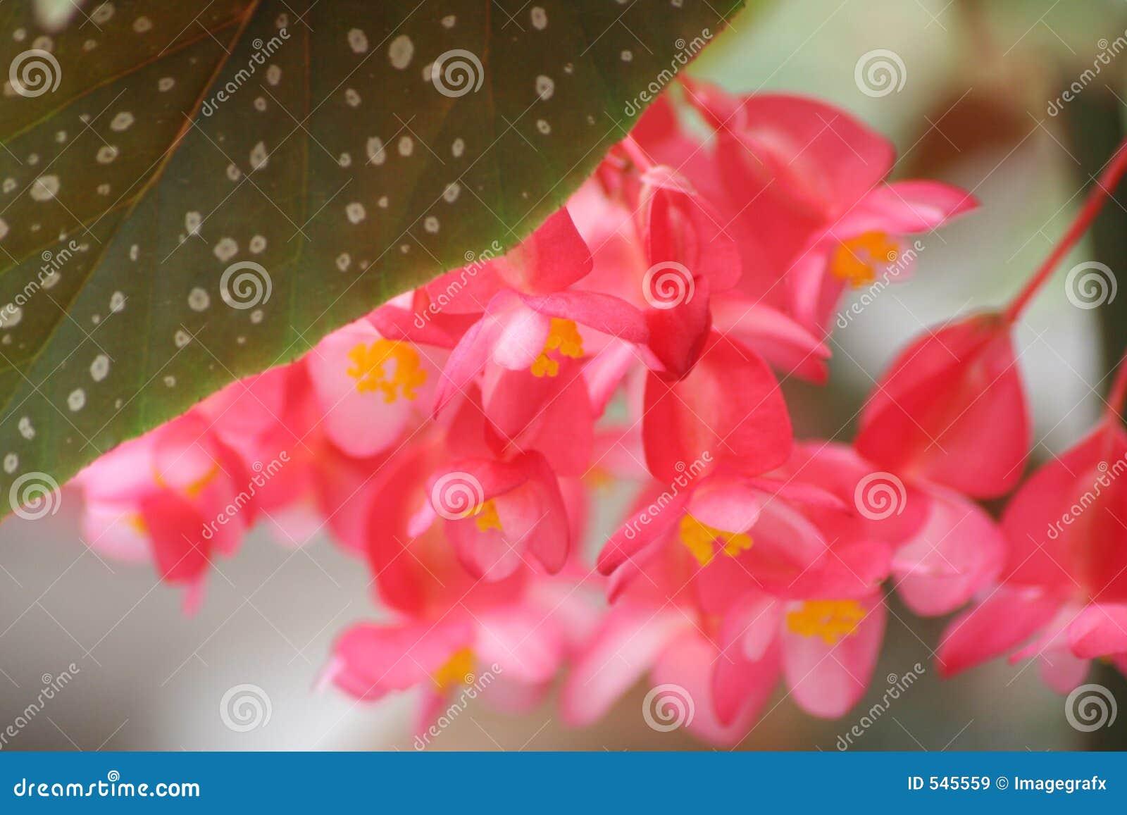 Download 天使秋海棠翼 库存图片. 图片 包括有 停止, 的态度, 气味, beauvoir, 装饰, 空白, 天使, 产生 - 545559