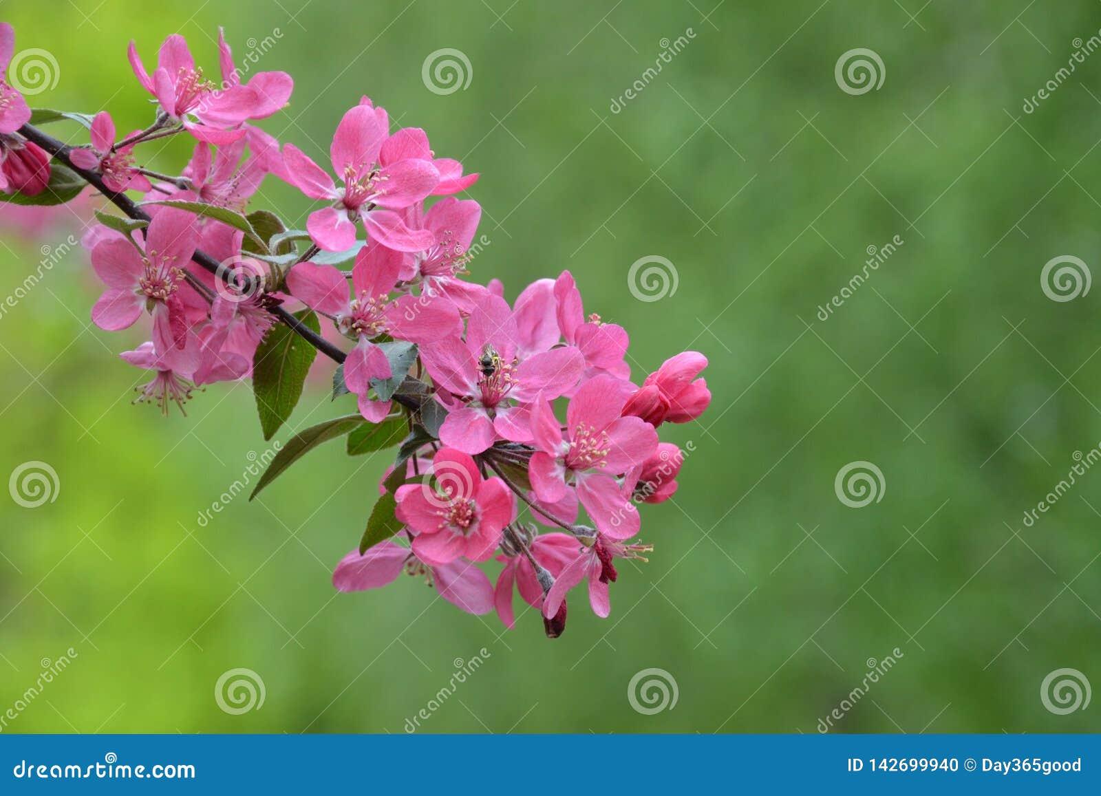 天堂般的桃红色苹果树的开花的分支 春天开花果树园 在绿色背景的桃红色花