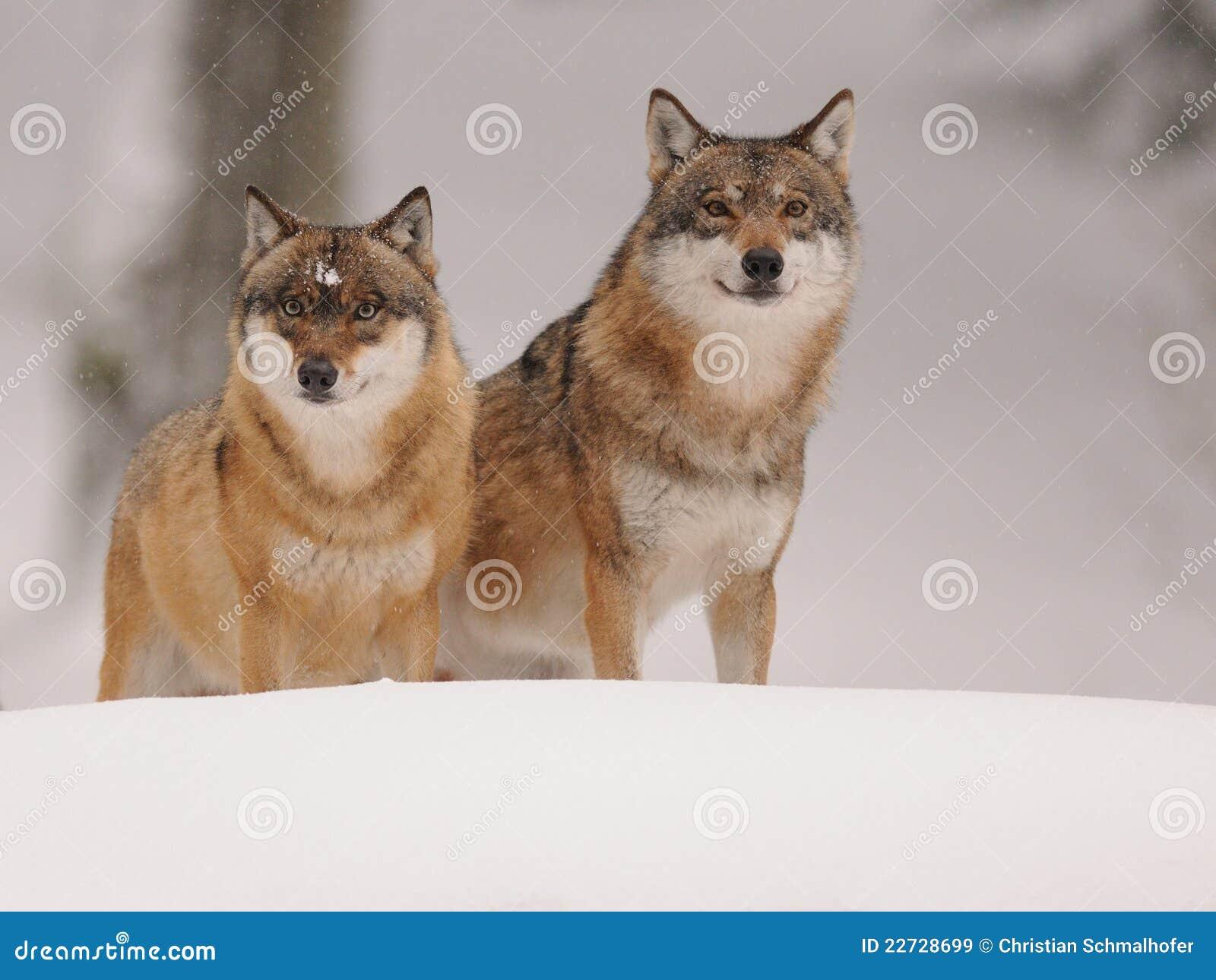 天狼犬座二头狼
