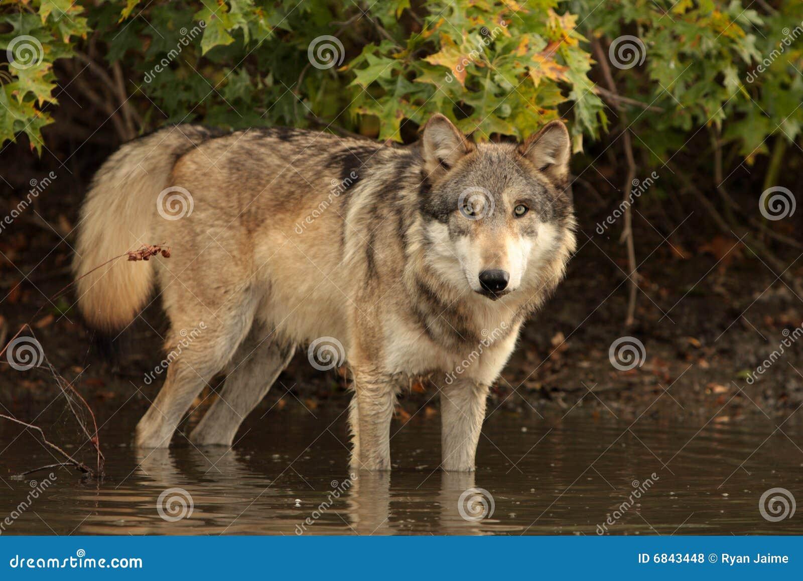 天狼犬座狼