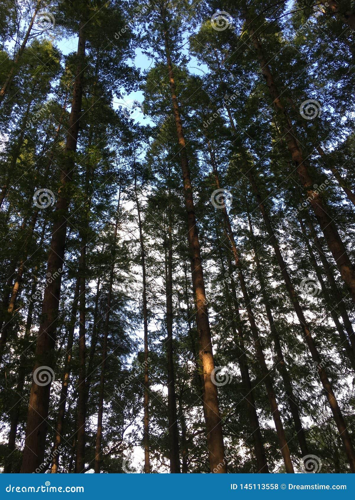 天空由密集和挺直树盖