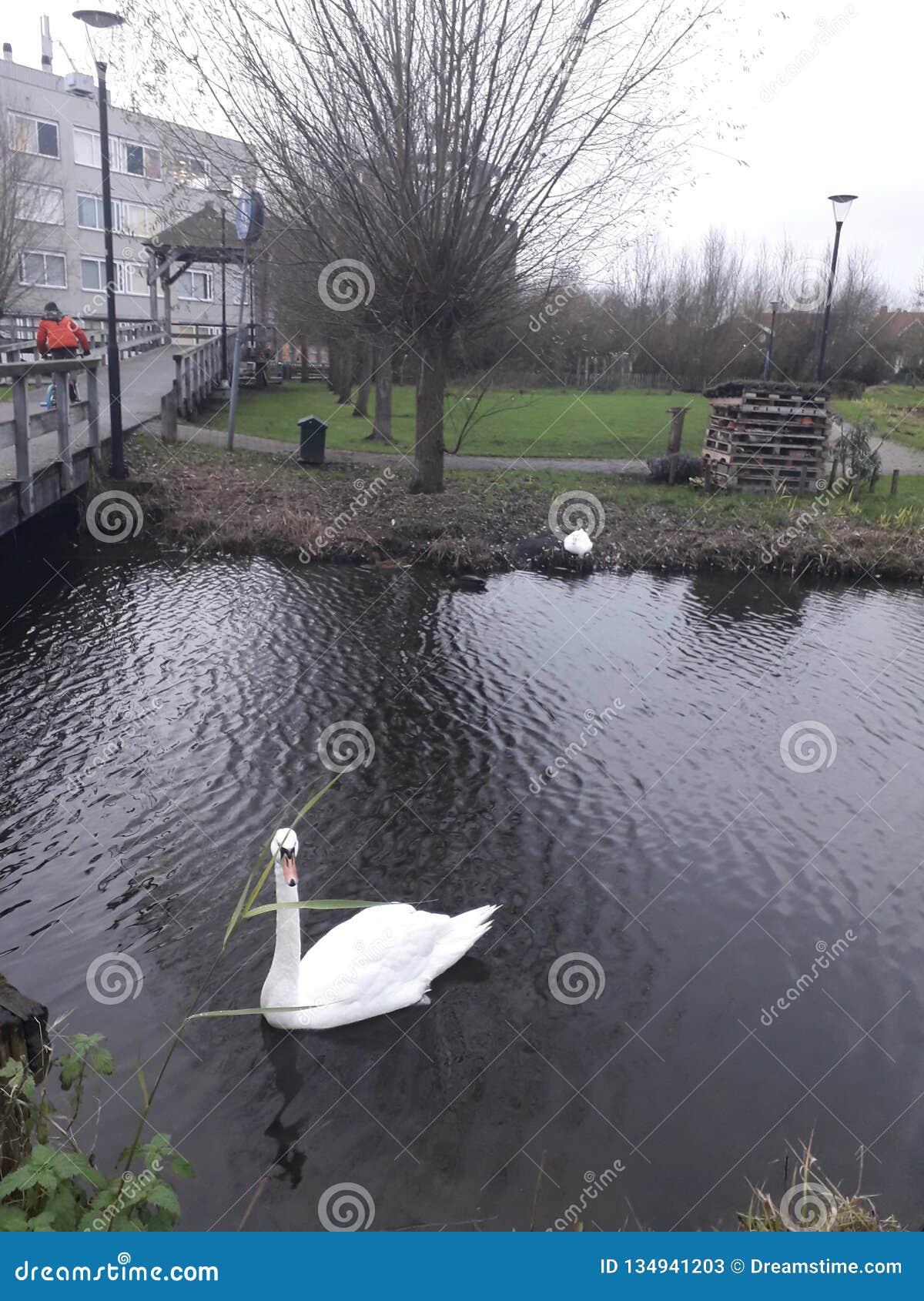 天鹅在池塘