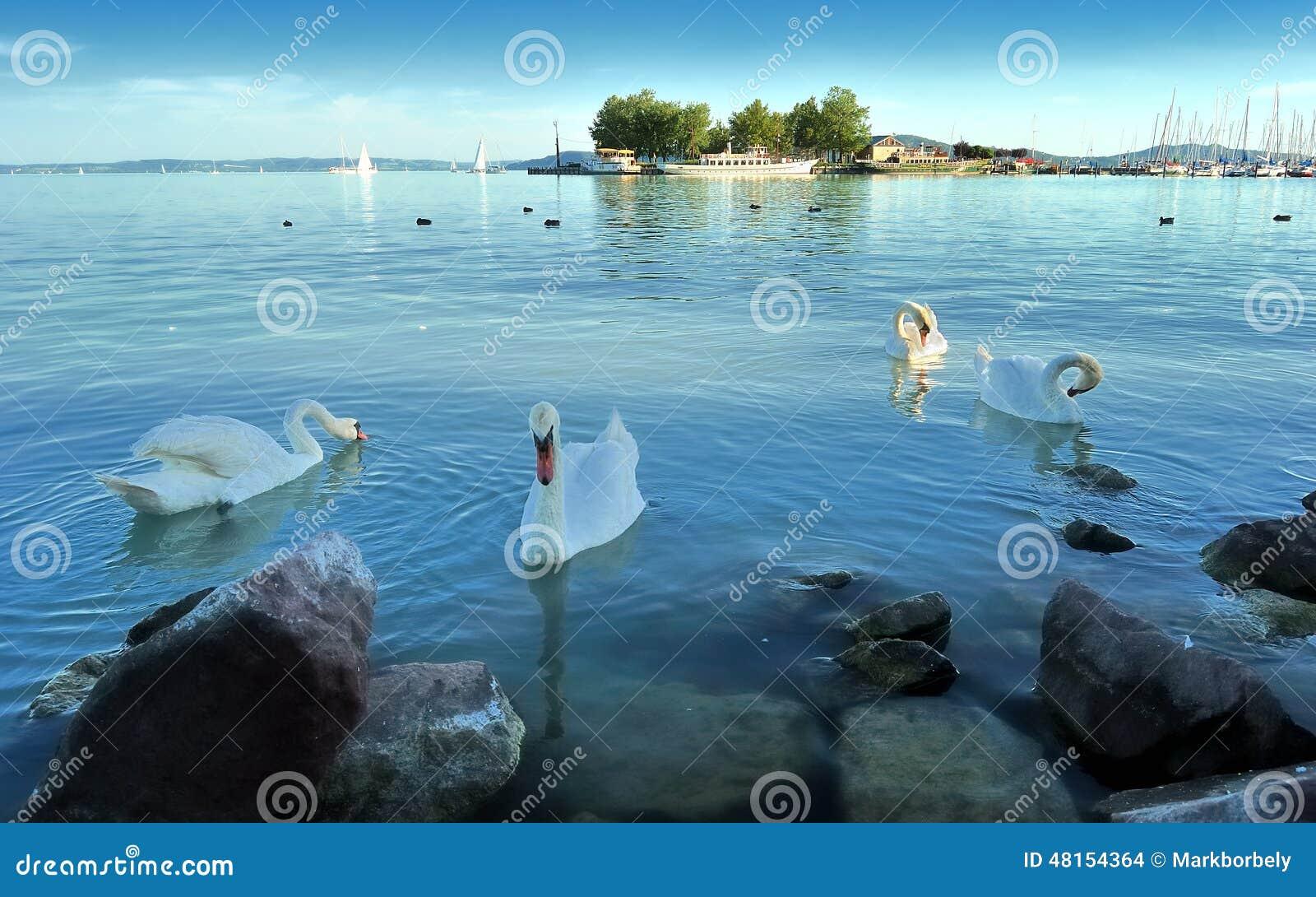 天鹅在balaton湖