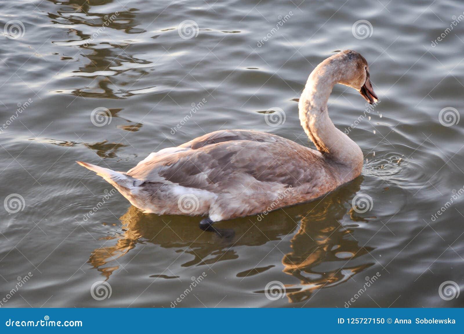 天鹅游泳在与落从它的嘴的小滴的水中