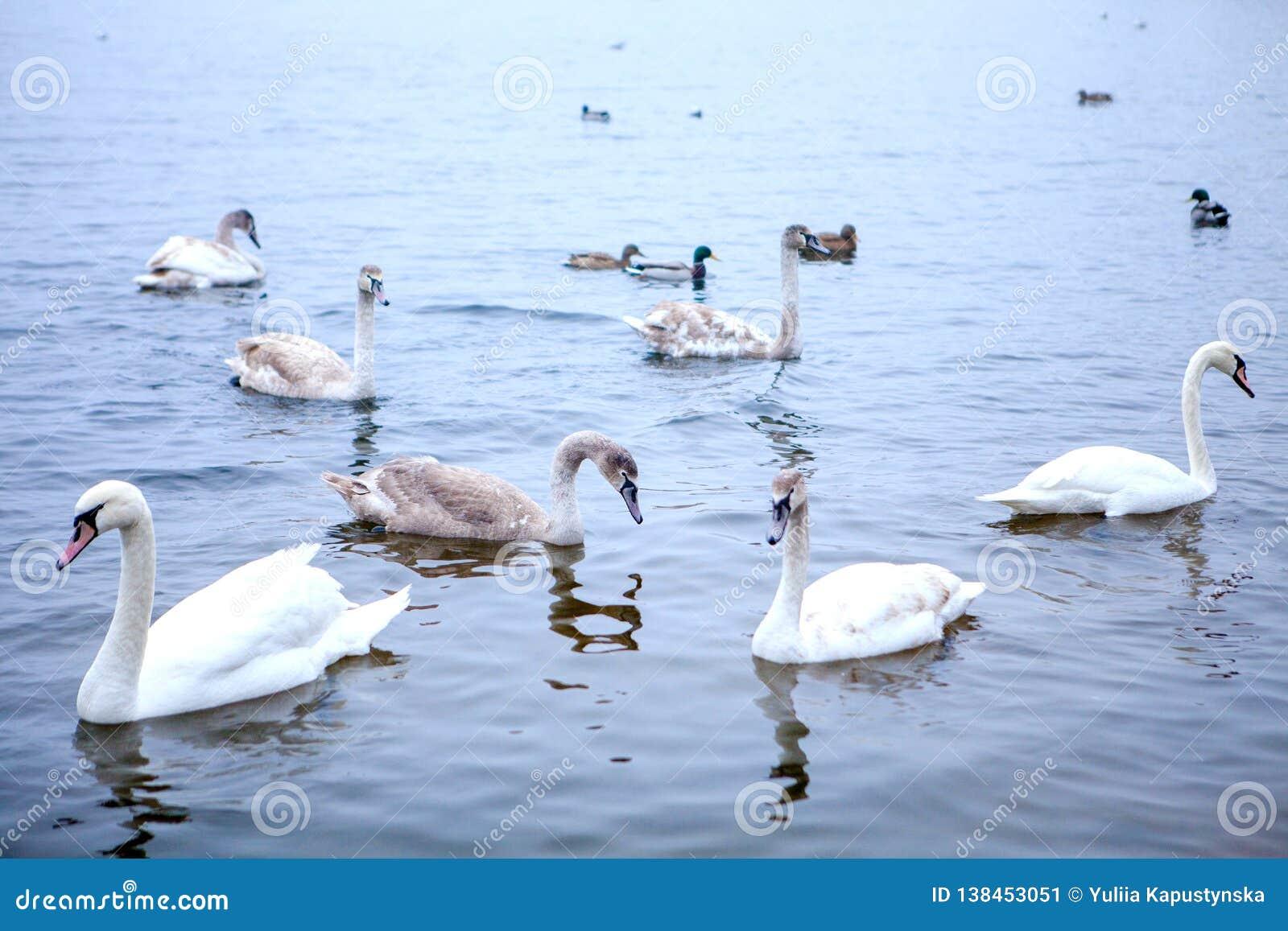 天鹅游泳群在河的